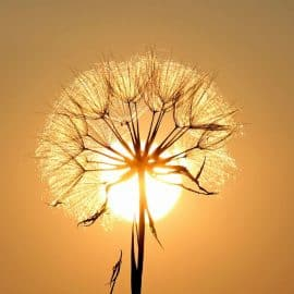 Some see a weed, some see a wish!